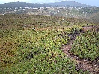 Cabo da Roca - The invasive Carpobrotus edulis spread onto the plateau of the Cape