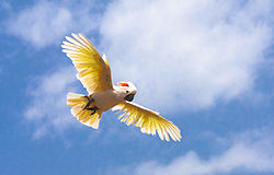 Cacatua moluccensis -Palmitos Park, Gran Canaria, Canary islands, Spain -flying-8a.jpg