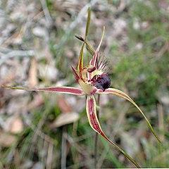 240px caladenia brownii   cropped