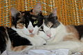 Calico and dilute calico cats.JPG