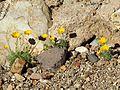 California Poppy - Flickr - treegrow.jpg
