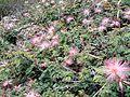Calliandra eriophylla (7657995848).jpg