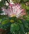 Calliandra surinamensis (2).jpg