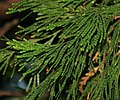 Calocedrus decurrens (Incense Cedar) (31150066532).jpg