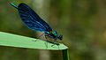 Calopteryx virgo auf Schilf.jpg