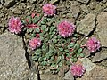 Calyptridium umbellatum - Flickr - pellaea (2).jpg