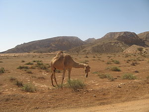 Basus War - A camel in Arabia