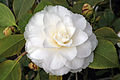 Camellia japonica 'Fimbriata'.JPG