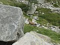 Camoscio presso Rif. Bozano - panoramio.jpg