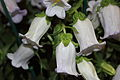 Campanula 'Champion Lavender' Boston 2011 -2.JPG