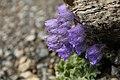 Campanula rotundifolia in Lamtang.jpg