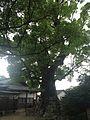 Camphor trees in Umi Hachiman Shrine 2.jpg