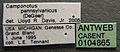 Camponotus pennsylvanicus casent0104865 label 1.jpg