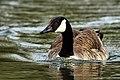 Canada Goose - Stanborough Lakes (13645115795).jpg