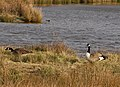 Canada geese - geograph.org.uk - 1720885.jpg