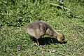 Canada goose - Branta canadensis (40175971180).jpg