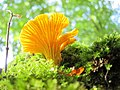 Cantharellus cibarius (Hanekam) as preceeding Photo, but now bottum side, with lovely light effects - panoramio.jpg
