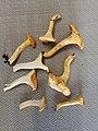 Cantharellus cibarius 85604361.jpg