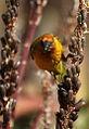 Cape Weaver, Ploceus capensis at Walter Sisulu National Botanical Garden - male (9648320318).jpg