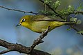 Cape White-eye, Zosterops pallidus, at Marakele National Park, Limpopo Province, South Africa (46677904201).jpg