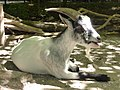 Capra-aegagrus-hircus-6.jpg