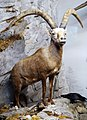 Capra ibex taxidermied.jpg