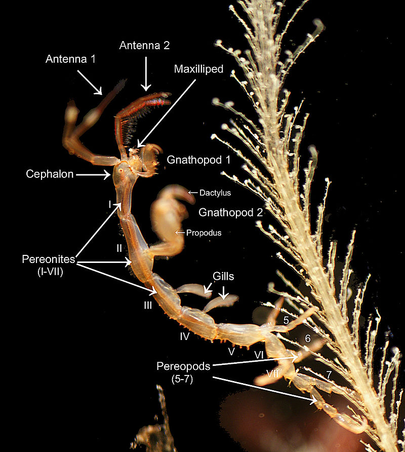 Caprella mutica male morphology.jpg