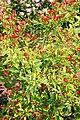Capsicum frutescens Tabasco 3zz.jpg
