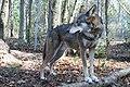 Captive male red wolf - 6189390353.jpg