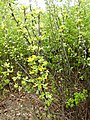 Caragana arborescens f005.jpg