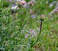 Carduus carlinaefolius ENBLA03.jpg