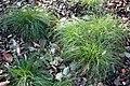 Carex appalachica - Brooklyn Botanic Garden - Brooklyn, NY - DSC07920.JPG