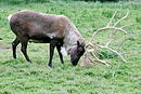 Caribou using antlers