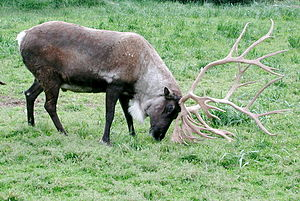 English: Caribou in Alaska using antlers http:...