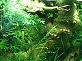Caridina cf. cantonensis - crystal red - 2 adults bis.JPG