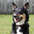 Carolina Dog Named Story.png
