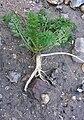 Carotte sauvage excavée.jpg