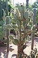 Caryophyllales - Opuntia pilifera - 1.jpg
