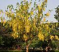 Cassia fistula (Amaltas) in Hyderabad W IMG 8170.jpg