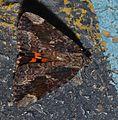 Catocala innubens – Betrothed Underwing Moth (14644793987).jpg