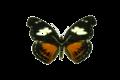 Catonephele numilia.png