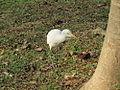 Cattle Egret (Bubulcus ibis coromandus).JPG