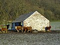 Cattle at Knockshinnoch - geograph.org.uk - 638086.jpg