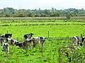 Cattle at the Bann Meadows, Portadown - geograph.org.uk - 1496378.jpg