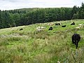Cattle grazing a rough pasture near Stranfasket - geograph.org.uk - 549850.jpg