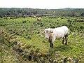 Cattle near Derrygolagh - geograph.org.uk - 1609456.jpg