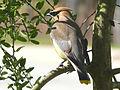 Cedar Waxwing-27527-1.jpg