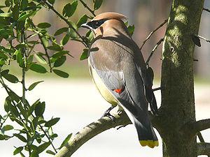 A Cedar Waxwing (Bombycilla cedrorum) perched ...