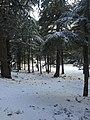 Cedar forest, Morocco.jpg