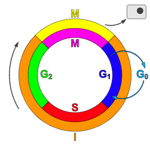 Cyclin-dependent kinase - Schematic of the cell cycle. outer ring: I = Interphase, M = Mitosis; inner ring: M = Mitosis; G1 = Gap phase 1; S = Synthesis; G2 = Gap phase 2. The duration of mitosis in relation to the other phases has been exaggerated in this diagram